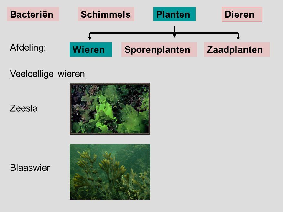 Zeesla Blaaswier Afdeling: BacteriënSchimmelsPlanten Dieren WierenSporenplantenZaadplanten Veelcellige wieren