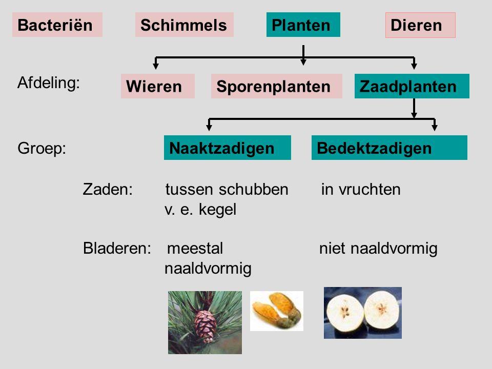Groep:NaaktzadigenBedektzadigen Zaden: tussen schubben in vruchten v. e. kegel Bladeren: meestal niet naaldvormig naaldvormig Afdeling: BacteriënSchim