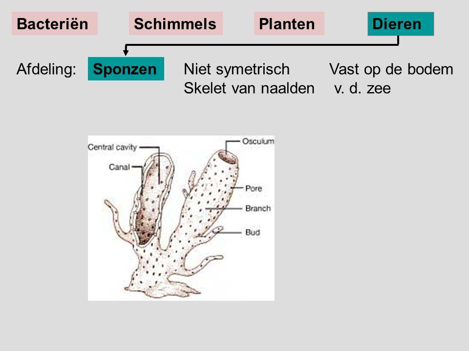 Niet symetrisch Vast op de bodem Skelet van naalden v. d. zee Sponzen BacteriënSchimmelsPlanten Dieren Afdeling: