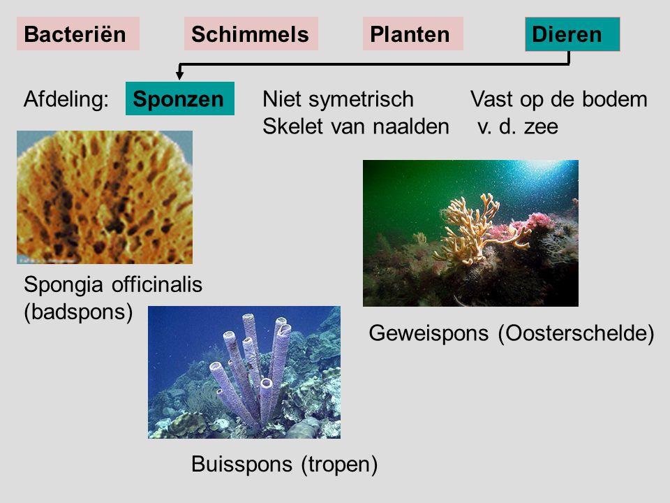 Buisspons (tropen) Spongia officinalis (badspons) Geweispons (Oosterschelde) Niet symetrisch Vast op de bodem Skelet van naalden v. d. zee Sponzen Bac