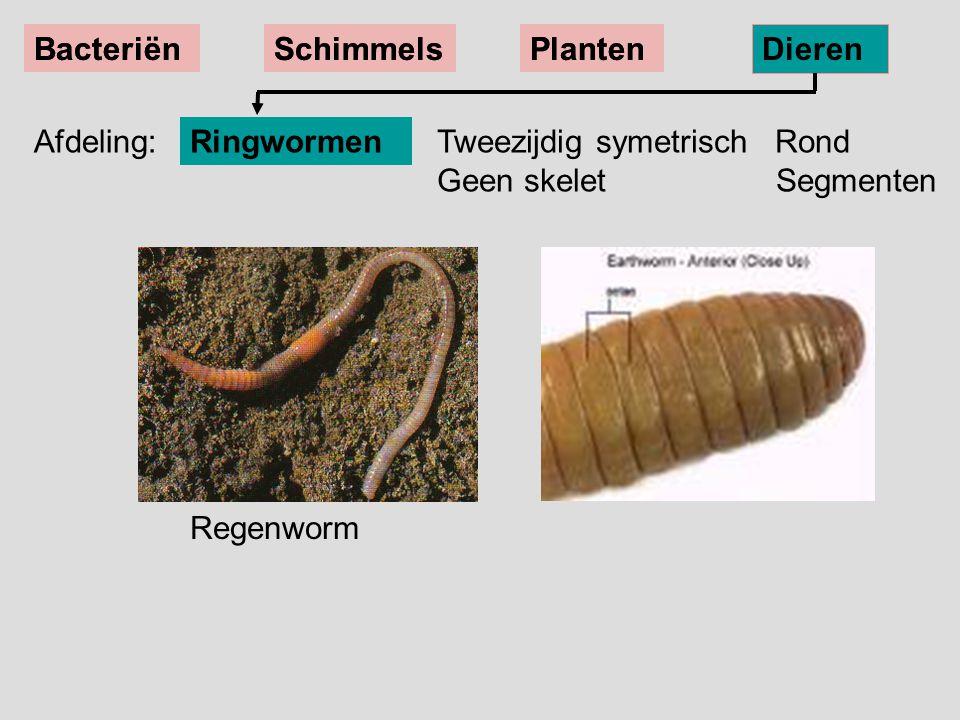BacteriënSchimmelsPlanten Dieren Regenworm Tweezijdig symetrisch Rond Geen skelet Segmenten Ringwormen BacteriënSchimmelsPlanten Dieren Afdeling: