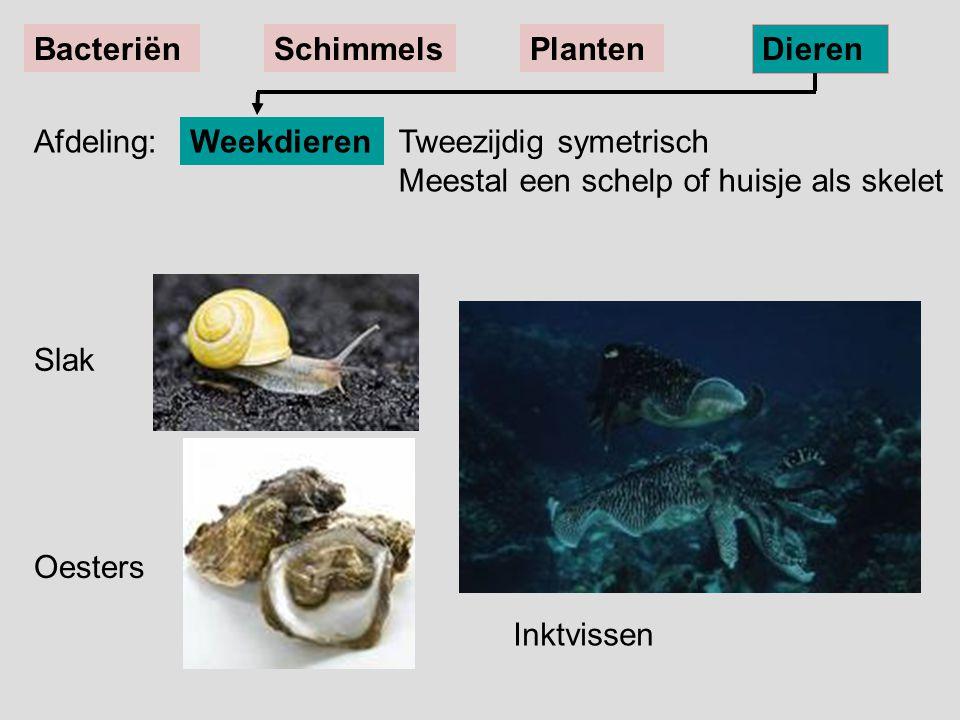 Slak Oesters Tweezijdig symetrisch Meestal een schelp of huisje als skelet Weekdieren BacteriënSchimmelsPlanten Dieren Afdeling: Inktvissen