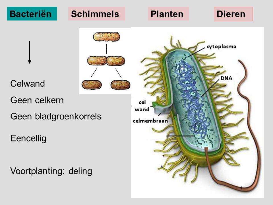 BacteriënSchimmelsPlanten Dieren Celwand Geen celkern Geen bladgroenkorrels Eencellig Voortplanting: deling