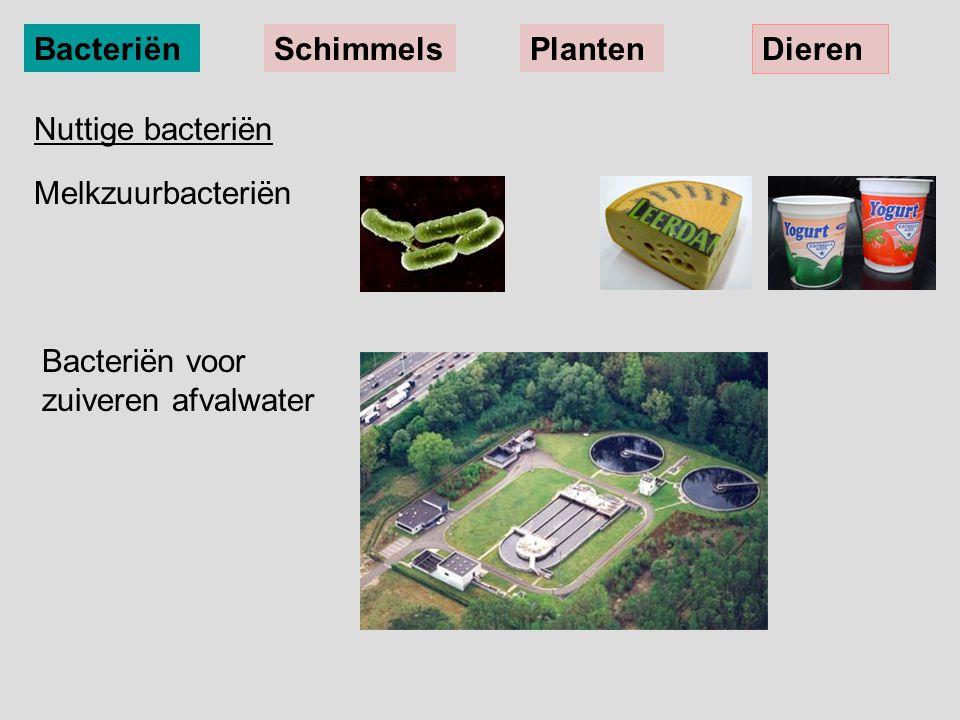 BacteriënSchimmelsPlanten Dieren Nuttige bacteriën Melkzuurbacteriën Bacteriën voor zuiveren afvalwater