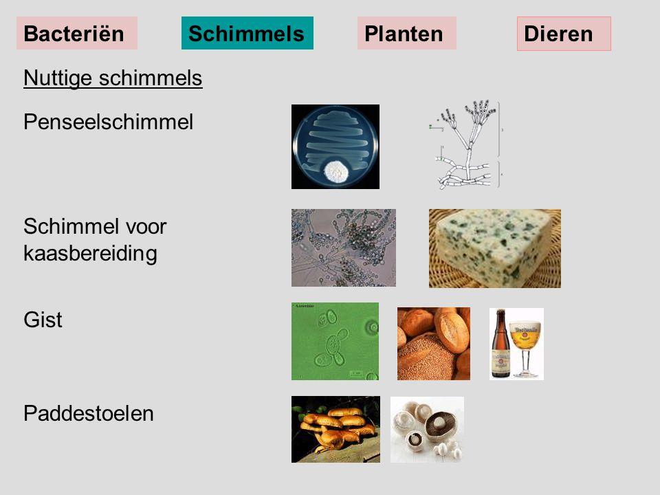 Nuttige schimmels Penseelschimmel Schimmel voor kaasbereiding Gist Paddestoelen BacteriënSchimmelsPlanten Dieren
