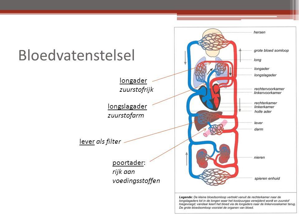 Bloedvatenstelsel lever als filter poortader: rijk aan voedingsstoffen longslagader zuurstofarm longader zuurstofrijk