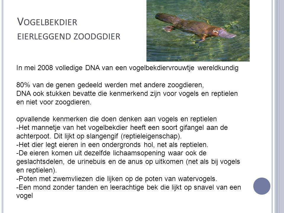 V OGELBEKDIER EIERLEGGEND ZOODGDIER In mei 2008 volledige DNA van een vogelbekdiervrouwtje wereldkundig 80% van de genen gedeeld werden met andere zoo
