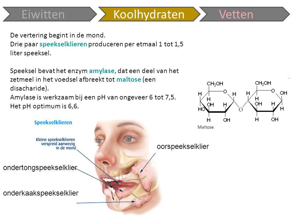 De vertering begint in de mond. Drie paar speekselklieren produceren per etmaal 1 tot 1,5 liter speeksel. Speeksel bevat het enzym amylase, dat een de