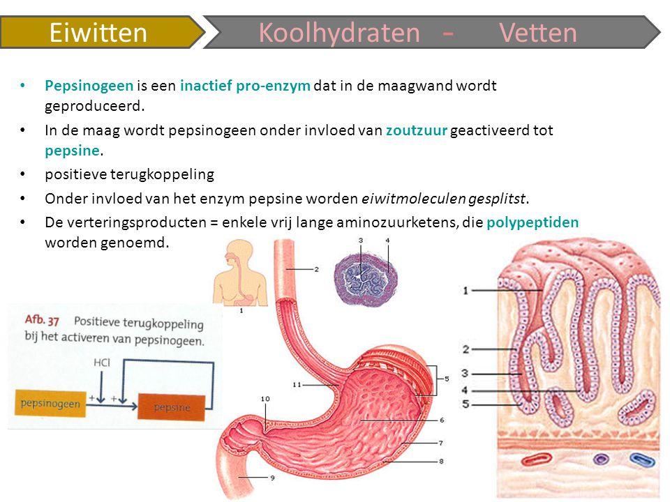 EiwittenKoolhydratenVetten - Pepsinogeen is een inactief pro-enzym dat in de maagwand wordt geproduceerd. In de maag wordt pepsinogeen onder invloed v