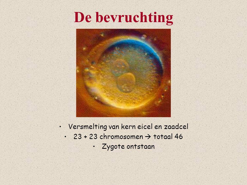 De bevruchting Versmelting van kern eicel en zaadcel 23 + 23 chromosomen  totaal 46 Zygote ontstaan
