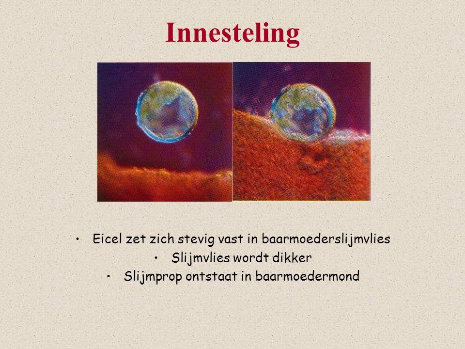 Innesteling Eicel zet zich stevig vast in baarmoederslijmvlies Slijmvlies wordt dikker Slijmprop ontstaat in baarmoedermond