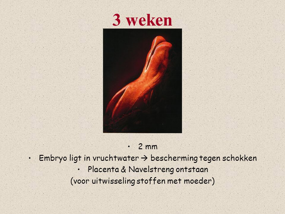 4 weken 6 mm Begin hersenen / ruggegraat Staart Hart (zakje onder hoofd)