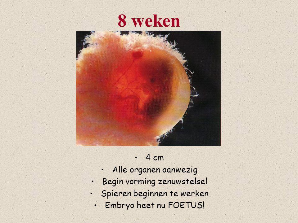 8 weken 4 cm Alle organen aanwezig Begin vorming zenuwstelsel Spieren beginnen te werken Embryo heet nu FOETUS!