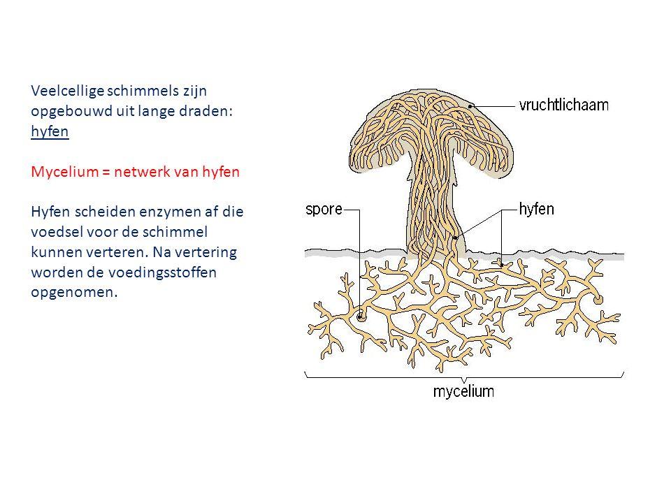 Veelcellige schimmels zijn opgebouwd uit lange draden: hyfen Mycelium = netwerk van hyfen Hyfen scheiden enzymen af die voedsel voor de schimmel kunne