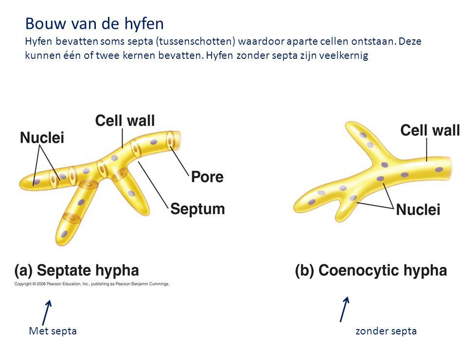 Met septazonder septa Bouw van de hyfen Hyfen bevatten soms septa (tussenschotten) waardoor aparte cellen ontstaan. Deze kunnen één of twee kernen bev