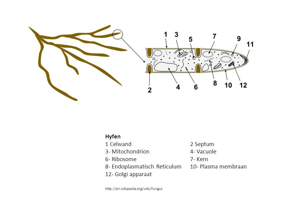 Hyfen 1 Celwand 2 Septum 3- Mitochondrion 4- Vacuole 6- Ribosome 7- Kern 8- Endoplasmatisch Reticulum10- Plasma membraan 12- Golgi apparaat http://en.