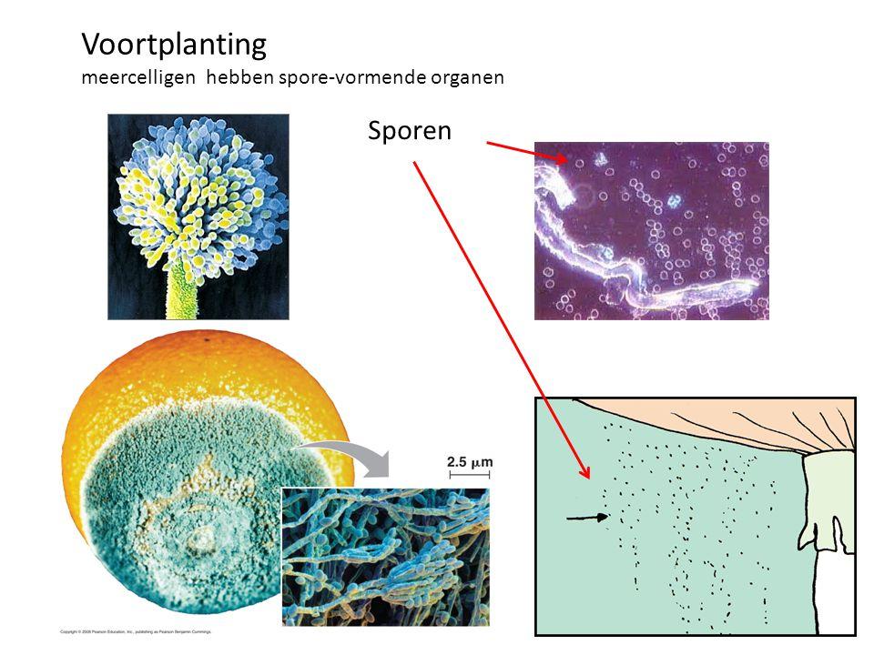 Sporen Voortplanting meercelligen hebben spore-vormende organen