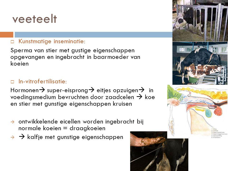 veeteelt  Kunstmatige inseminatie: Sperma van stier met gustige eigenschappen opgevangen en ingebracht in baarmoeder van koeien  In-vitrofertilisati