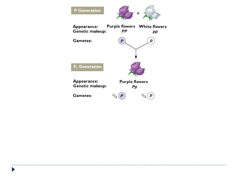 P Generation Appearance: Genetic makeup: Gametes: Purple flowers White flowers PP P pp p F 1 Generation Gametes: Genetic makeup: Appearance: Purple fl