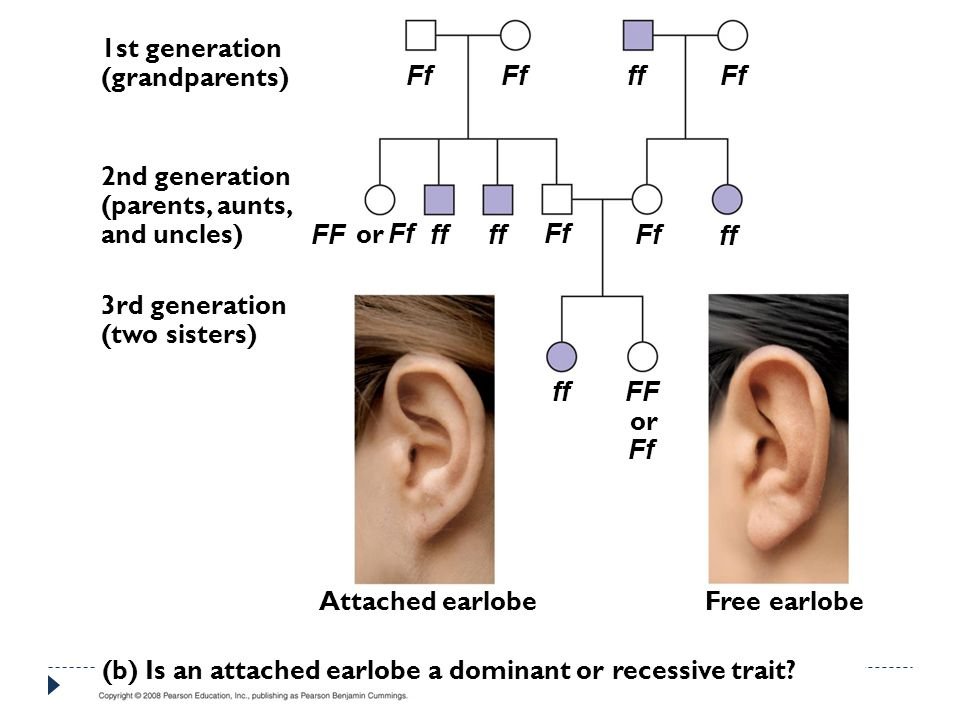 Attached earlobe 1st generation (grandparents) 2nd generation (parents, aunts, and uncles) 3rd generation (two sisters) Free earlobe (b) Is an attached earlobe a dominant or recessive trait.
