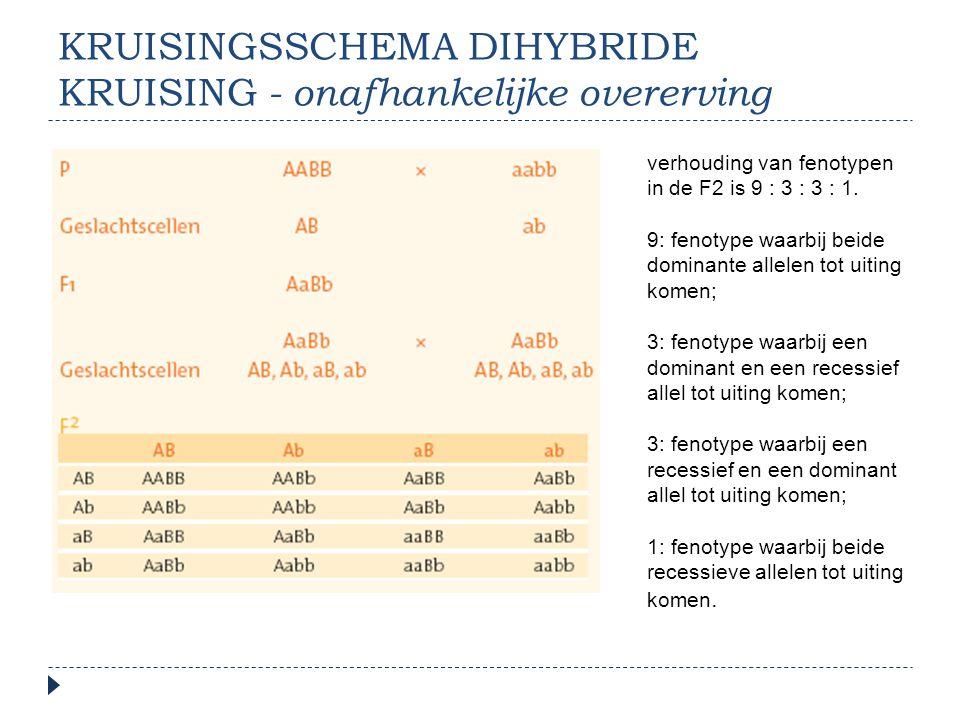 KRUISINGSSCHEMA DIHYBRIDE KRUISING - onafhankelijke overerving verhouding van fenotypen in de F2 is 9 : 3 : 3 : 1. 9: fenotype waarbij beide dominante