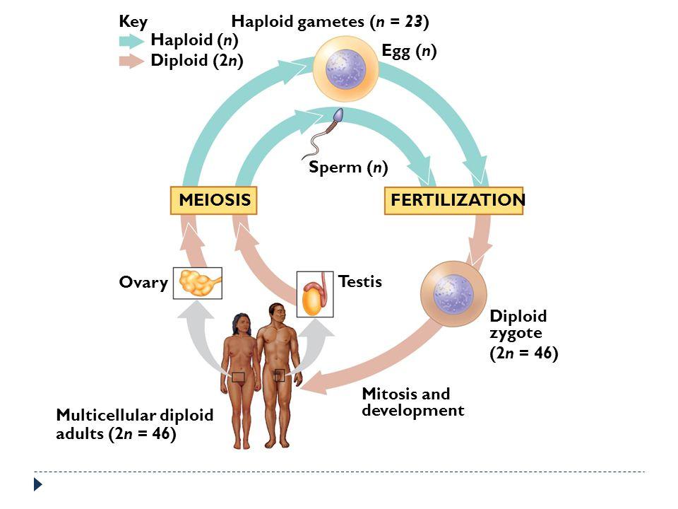 Key Haploid (n) Diploid (2n) Haploid gametes (n = 23) Egg (n) Sperm (n) MEIOSISFERTILIZATION Ovary Testis Diploid zygote (2n = 46) Mitosis and develop