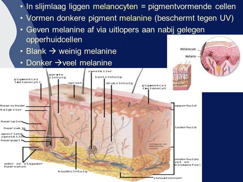 In slijmlaag liggen melanocyten = pigmentvormende cellen Vormen donkere pigment melanine (beschermt tegen UV) Geven melanine af via uitlopers aan nabi