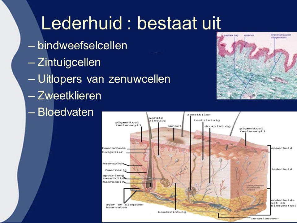 Lederhuid : bestaat uit –bindweefselcellen –Zintuigcellen –Uitlopers van zenuwcellen –Zweetklieren –Bloedvaten