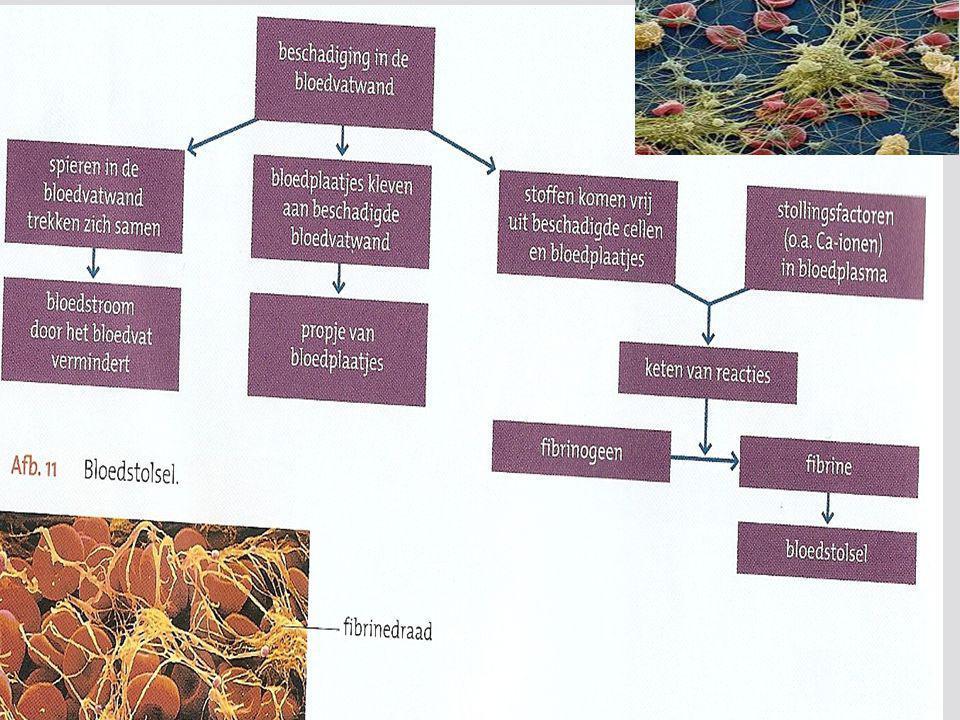 fibrinenetwerk Geelgroene draden: fibrine Rode cellen: erythrocyten Kleine propjes; bloedplaatjes