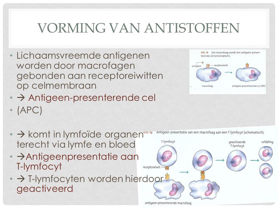 VORMING VAN ANTISTOFFEN Lichaamsvreemde antigenen worden door macrofagen gebonden aan receptoreiwitten op celmembraan  Antigeen-presenterende cel (AP
