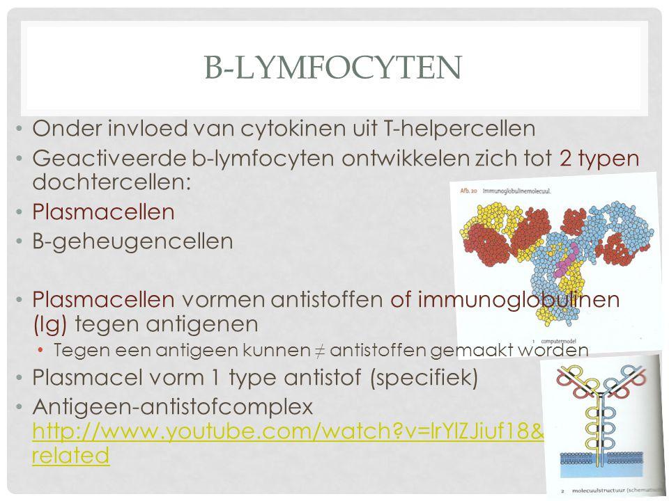 B-LYMFOCYTEN Onder invloed van cytokinen uit T-helpercellen Geactiveerde b-lymfocyten ontwikkelen zich tot 2 typen dochtercellen: Plasmacellen B-geheu