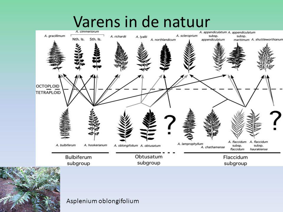 Varens in de natuur Asplenium oblongifolium