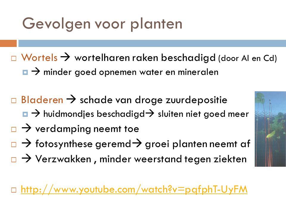 Gevolgen voor planten  Wortels  wortelharen raken beschadigd (door Al en Cd)   minder goed opnemen water en mineralen  Bladeren  schade van droge zuurdepositie   huidmondjes beschadigd  sluiten niet goed meer   verdamping neemt toe   fotosynthese geremd  groei planten neemt af   Verzwakken, minder weerstand tegen ziekten  http://www.youtube.com/watch?v=pqfphT-UyFM http://www.youtube.com/watch?v=pqfphT-UyFM