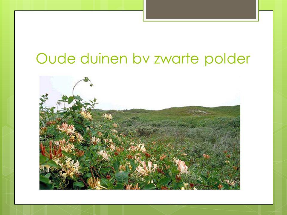 Oude duinen bv zwarte polder