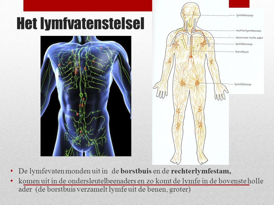 Het lymfvatenstelsel De lymfevaten monden uit in de borstbuis en de rechterlymfestam, komen uit in de ondersleutelbeenaders en zo komt de lymfe in de bovenste holle ader (de borstbuis verzamelt lymfe uit de benen, groter)