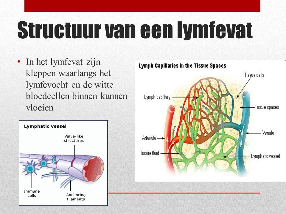 Lymfevaten Lymfeknopen De kleppen verhinderen de terugstroom van de lymfe Lymfeknopen komen voor in de hals oksels en liezen.