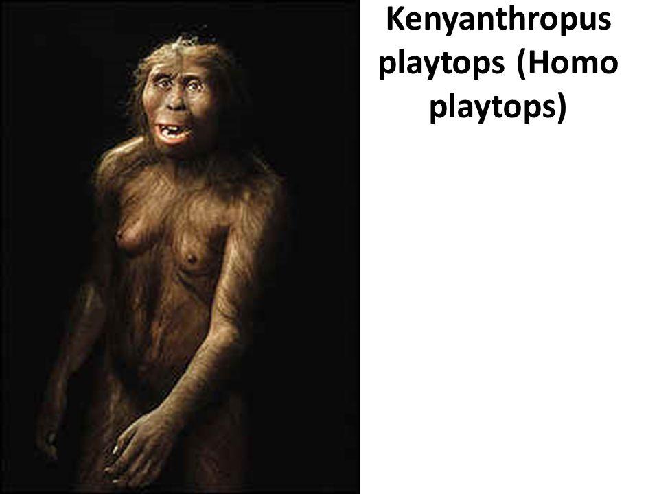 Kenyanthropus playtops (Homo playtops)