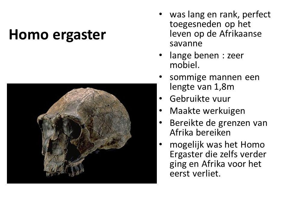 Homo ergaster was lang en rank, perfect toegesneden op het leven op de Afrikaanse savanne lange benen : zeer mobiel. sommige mannen een lengte van 1,8
