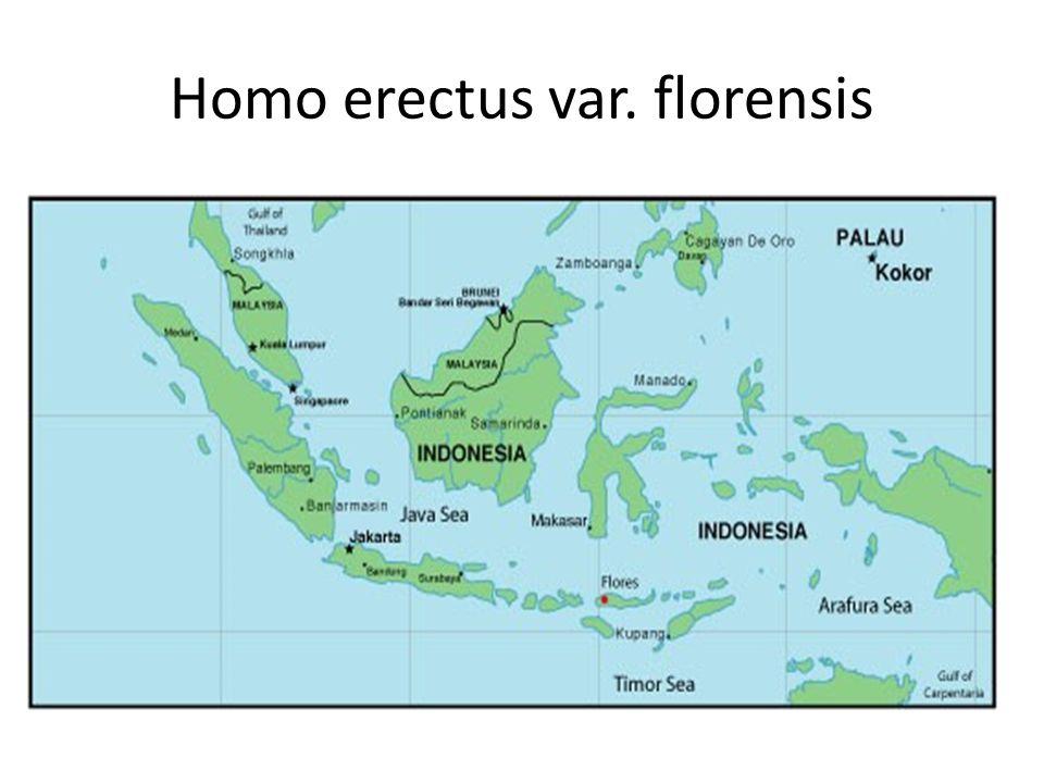 Homo erectus var. florensis
