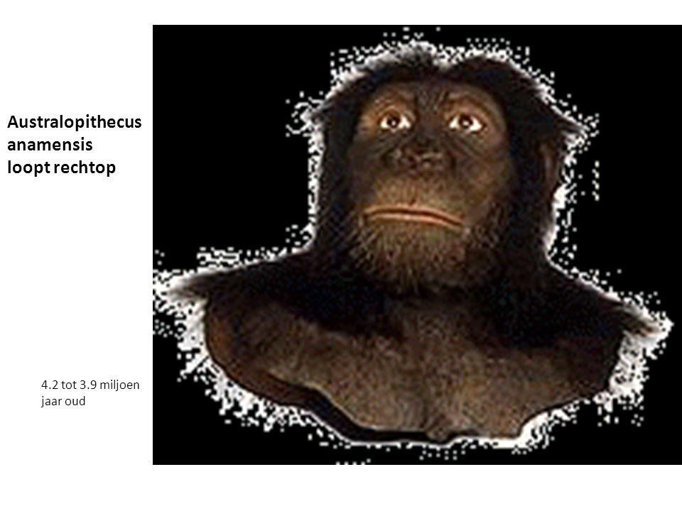 Australopithecus anamensis loopt rechtop 4.2 tot 3.9 miljoen jaar oud