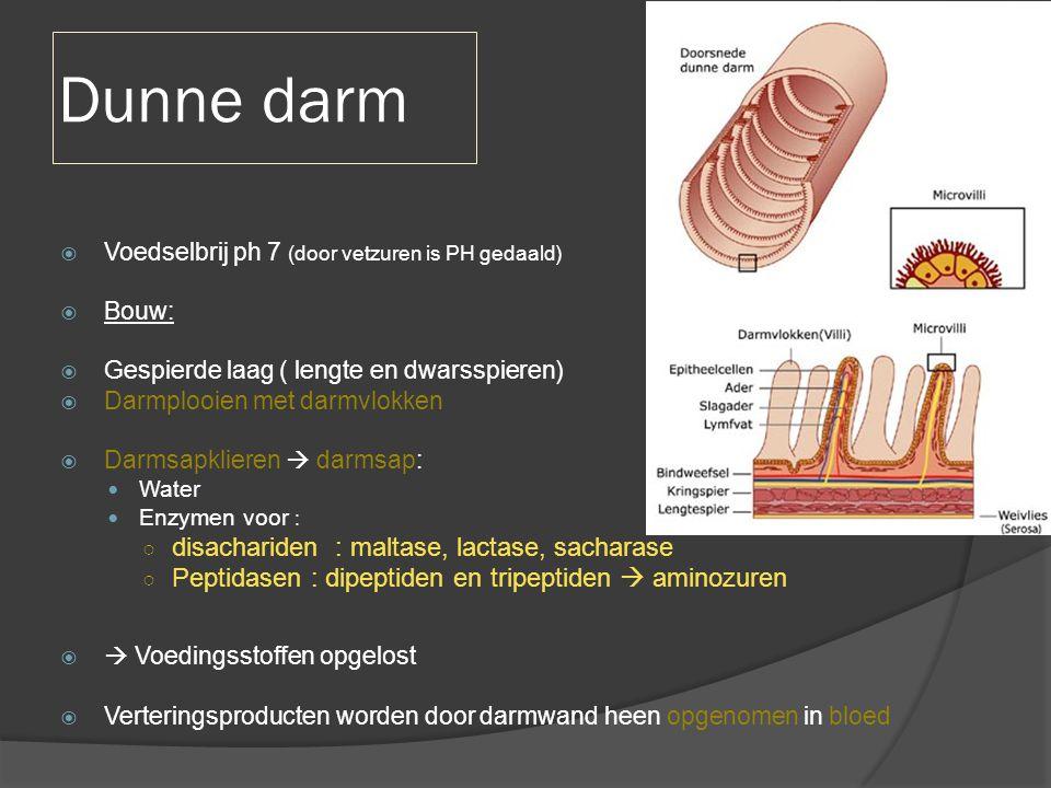 Dunne darm  Voedselbrij ph 7 (door vetzuren is PH gedaald)  Bouw:  Gespierde laag ( lengte en dwarsspieren)  Darmplooien met darmvlokken  Darmsap