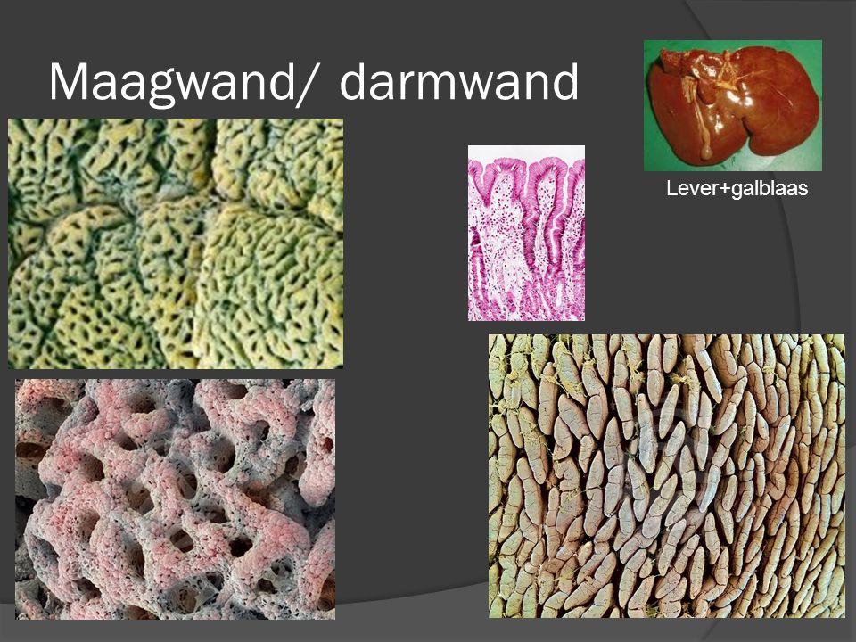 Maagwand/ darmwand Lever+galblaas