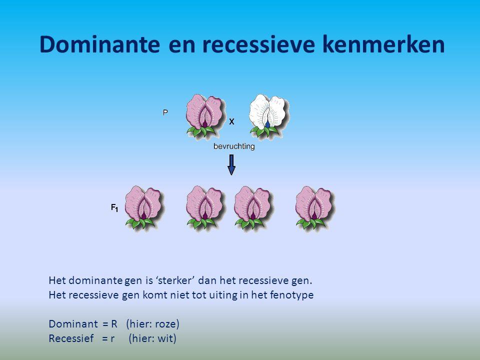 Dominante en recessieve kenmerken GenotypeFenotype RR x rr (beiden homozygoot) Rr(100% heterozygoot)