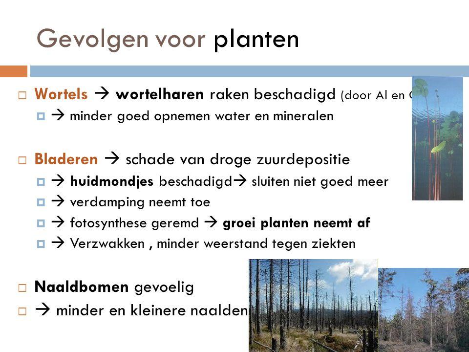 Gevolgen voor planten  Wortels  wortelharen raken beschadigd (door Al en Cd)   minder goed opnemen water en mineralen  Bladeren  schade van drog