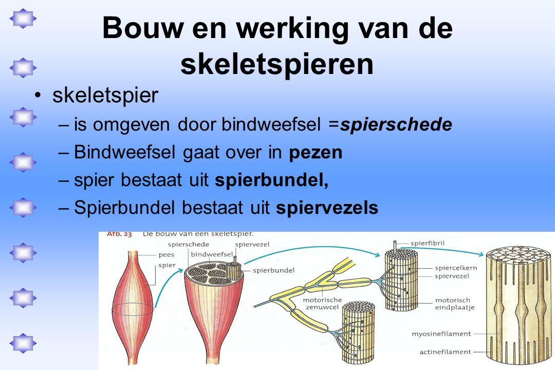 zenuwimpuls –Impuls  motorische zenuw  axon vertakt zich –  motorisch eindplaatjes  ≠ spiervezels Motorische eenheid = –Alle spiervezels die via motorische eindplaatsjes in verbinding staan met 1 motorisch zenuwcel