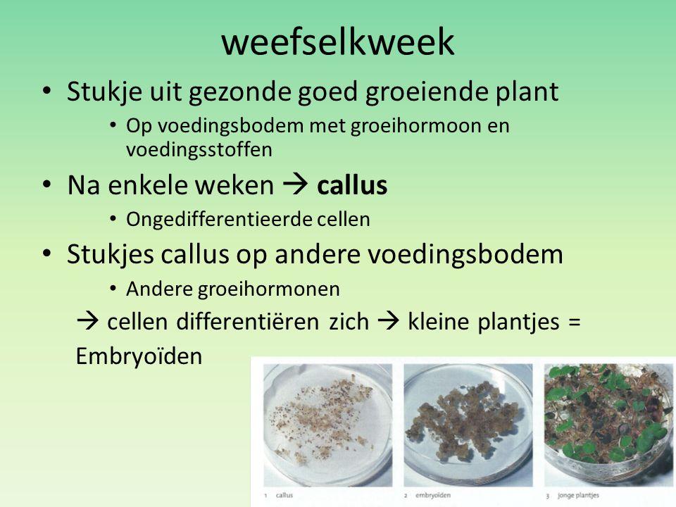 weefselkweek Stukje uit gezonde goed groeiende plant Op voedingsbodem met groeihormoon en voedingsstoffen Na enkele weken  callus Ongedifferentieerde