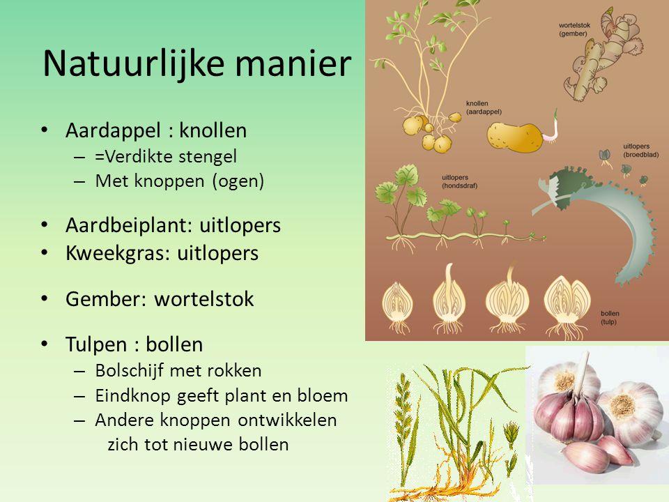 Natuurlijke manier Aardappel : knollen – =Verdikte stengel – Met knoppen (ogen) Aardbeiplant: uitlopers Kweekgras: uitlopers Gember: wortelstok Tulpen
