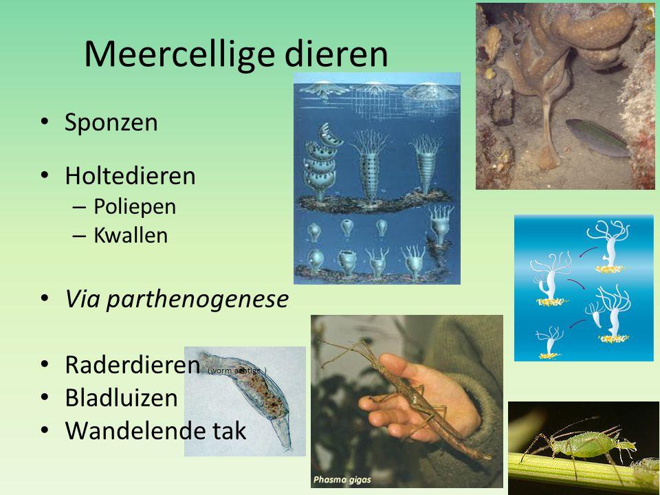 Meercellige dieren Sponzen Holtedieren – Poliepen – Kwallen Via parthenogenese Raderdieren (worm achtige ) Bladluizen Wandelende tak