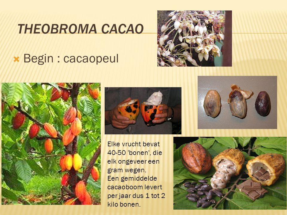 THEOBROMA CACAO  Begin : cacaopeul Elke vrucht bevat 40-50 'bonen', die elk ongeveer een gram wegen. Een gemiddelde cacaoboom levert per jaar dus 1 t