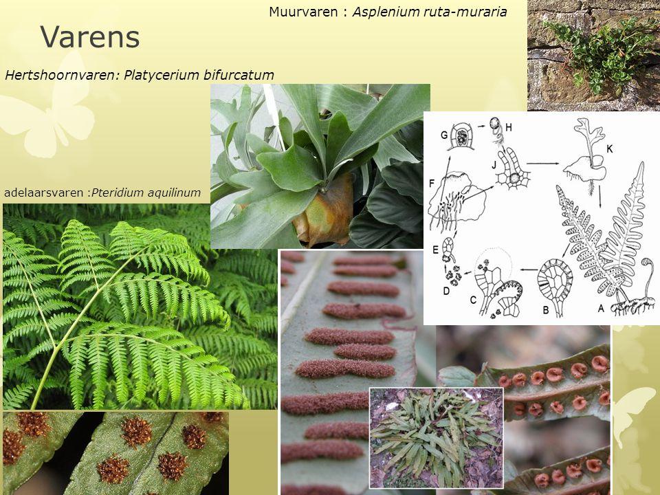 Varens  Grote ingesneden bladeren  Sporenhoopjes Hertshoornvaren: Platycerium bifurcatum Muurvaren : Asplenium ruta-muraria adelaarsvaren :Pteridium